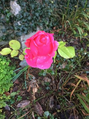 A rose in bloom in my back garden in Newcastle, Galway. Photograph: Mary Walsh