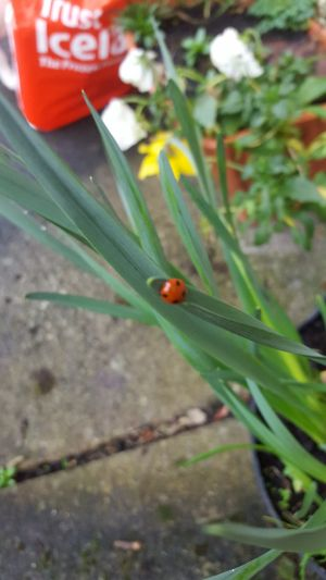 A ladybird spotted in a back garden in Midleton, Co Cork