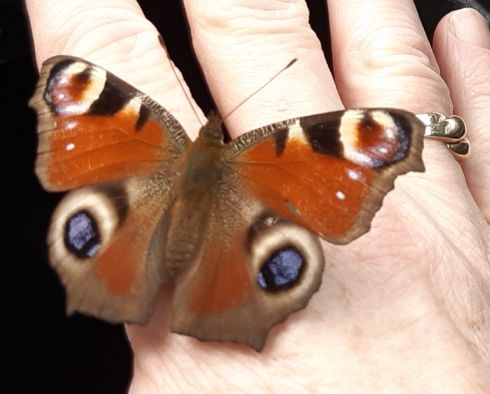 I was visiting my Dad's grave December 30th and this butterfly appeared in my car.   I pulled over and as I reached to open the door it landed on my hand. Photograph: Sally O'Connor