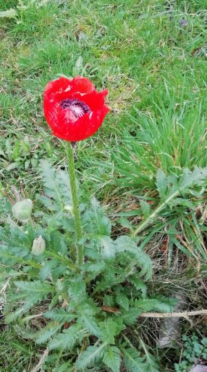 A poppy on Jan 1st in Sligo. They usually flowers in May. Photograph: Sheila Gallagher