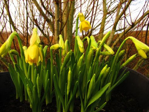 Miniature daffodils blooming at our house in Inishowen, Donegal. Photograph: Steven Barry