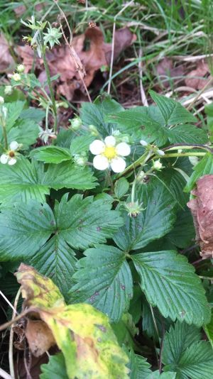 Strawberry flowers in Tipperary on January 5th. Photograph: Alice Boush