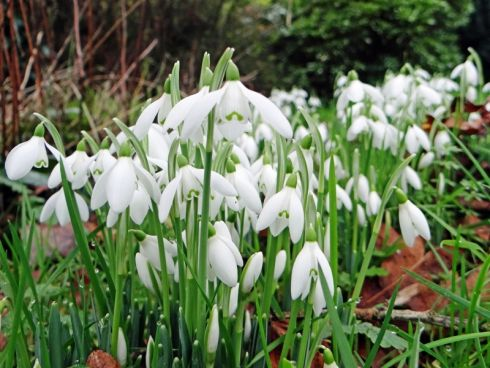 There are drifts of snowdrops all over the garden since December, the anemones haven't stopped flowering since last summer and there are flower buds on the fuchsia plants here in mid Cork. Photograph: Helen  Hourihan