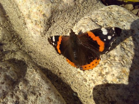 This is a Red Admiral taken in Killiney last Thursday. Nice to see, but troubling. Photograph: Keith Double