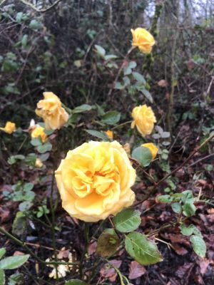 Yellow Roses by Mary McGuire