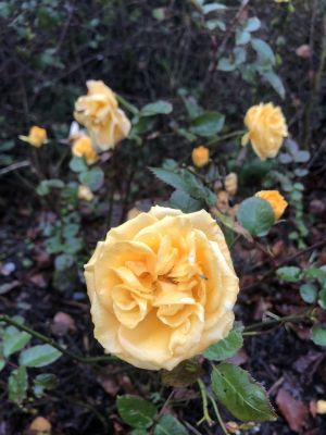 Yellow Roses in January. Photograph: Mary McGuire