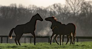Horses in high spirits during a frosty morning in Kilcullen in Co Kildare. Photograph: Niall Carson/PA Wire