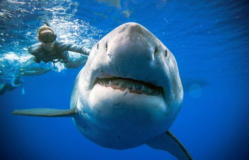 A shark said to be Deep Blue, one of the largest recorded individuals, off Hawaii, US. Photograph: Reuters