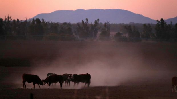 Cattle kick-up dust at sunset in north-western New South Wales. Photograph: David Gray/Reuters