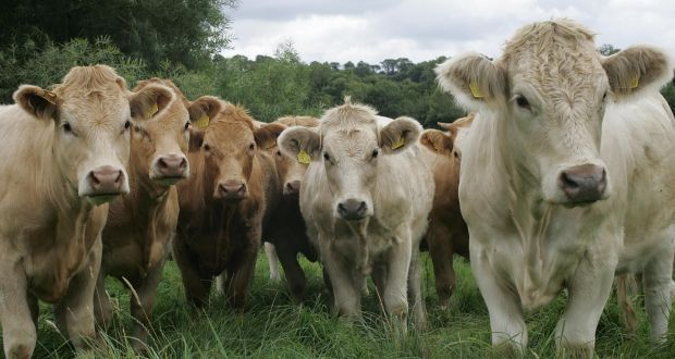 Beef cattle in Kilkenny. File photograph: Brenda Fitzsimons/Irish Times