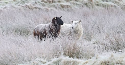 Sheep in frost covered fields near Blessington in Co Wicklow. Photograph: Niall Carson/PA