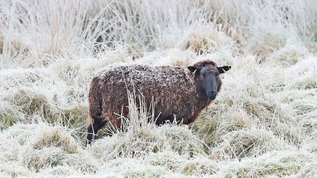 A sheep in frost covered fields near Blessington in Co Wicklow on Monday. Photograph: PA