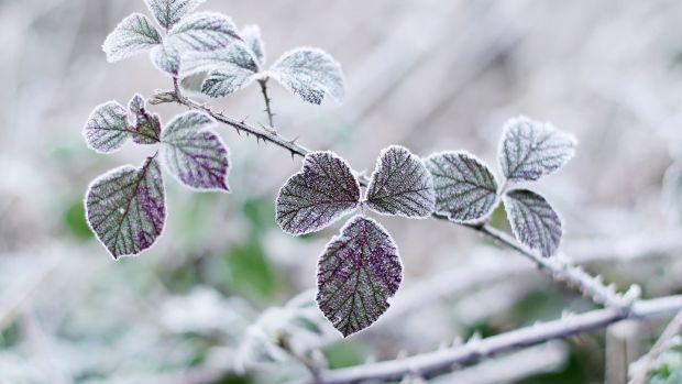 Frost covered leaves in a field in Kilcullen, Co Kildare on Monday. Photograph: PA