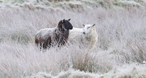 Sheep in frost covered fields near Blessington in Co Wicklow on Monday. Photograph: PA