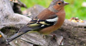 The chaffinch: had trouble later with the auld drugs, and got very stout. Died way too young.