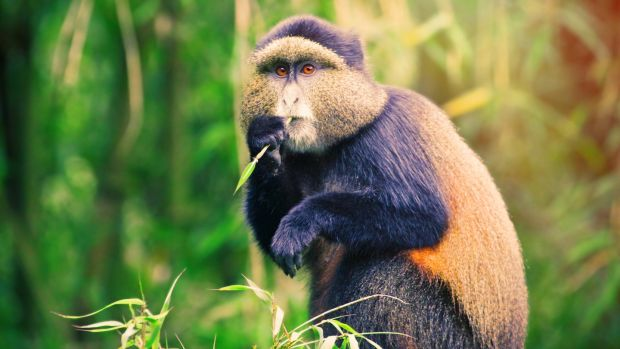 A golden monkey. They are only found in the habitat of the Virunga mountains
