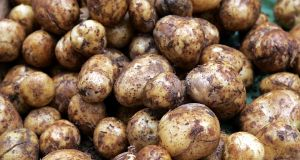 GM potatoes tolerant to the late blight fungus might  be useful for Irish agriculture. Photograph: Matt Kavanagh/The Irish Times