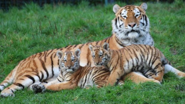 The cubs are the first for parents Tundra and Ussuri. Photograph: Aisleen Greene, Dublin Zoo