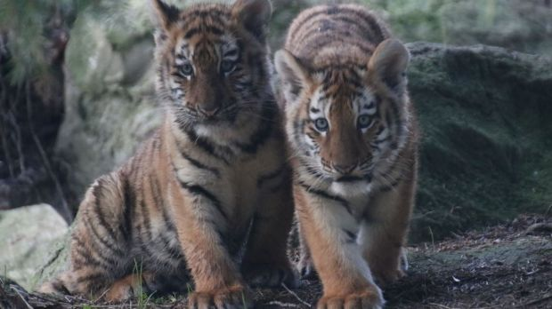 Dublin Zoo are inviting the public to suggest names for the pair of cubs. Photograph: Aisleen Greene, Dublin Zoo