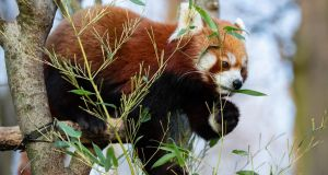 A red panda eats bamboo leaves in the Tierpark Berlin. Photograph: Hayoung Jeon/EPA