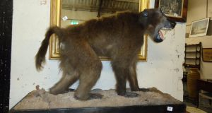 A baboon taxidermy achieved €1,200 (€500-€600) at Usher Auction Rooms, Kells.