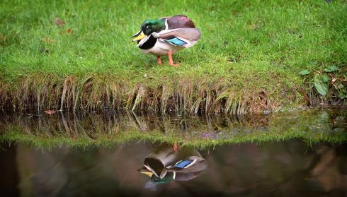 DUCK'S BACK: A duck is seen in the National Botanic Gardens, Glasnevin, Dublin. Photograph: Dara Mac Dónaill/The Irish Times