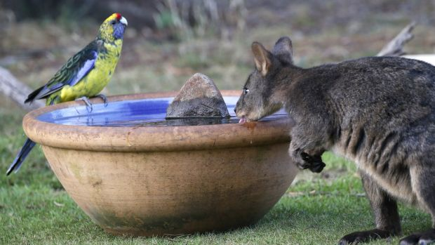 A green rosella and a wallaby, known as a Pademelon, eye off as they drink from a water bowl in Kayena, in northern Tasmania.