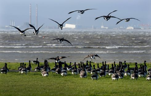 STORMY FLIGHT: Brent geese on the shoreline at Sutton as storm Eric buffets Dublin. Photograph: Alan Betson/The Irish Times
