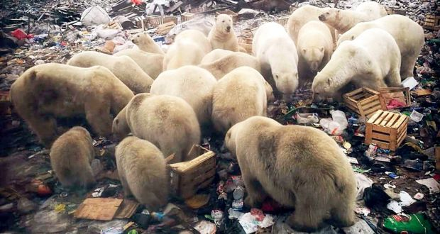 Image result for Russian islands declare emergency after mass invasion of polar bears