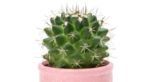 "Cactus: ""too prickly"" for men, apparently. Photograph: iStock/Getty"