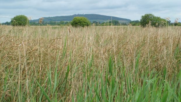 Reeds and saw-sedge at Pollardstown Fen in front of the Hill of Allen. Photograph: Catherine O'Connell/IPCC