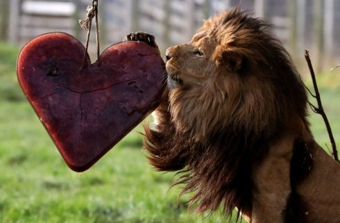 EAT YOUR HEART OUT: Zulu at Blair Drummond Safari Park near Stirling shows his inquisitive side to a meat and blood filled frozen love heart, hung from a tree by staff ahead of Valentines day on Thursday. Photograph: Andrew Milligan/PA Wire