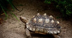 The angled shell of the leopard tortoise helps the tortoise roll back on to its feet no matter which way it falls.
