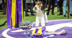 King, a wire fox terrier, after being named best in show during the Westminster Kennel Club Dog Show at Madison Square Garden in New York on February 12 Phootgraph: Ryan Christopher Jones/The New York Times