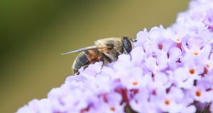 Bees  spend their entire lives feeding on nectar and pollen while helping to fertilise plants. In Ireland there are 100 species of bee; 50%  are in decline, a third are threatened with extinction, Photograph: Getty Images