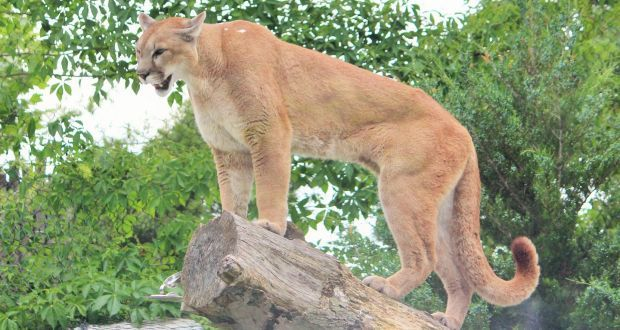 Kauffman was running on a trail when the juvenile cougar attacked him from behind. Photograph: Karthikeyan Arumugam/EyeEm/Getty