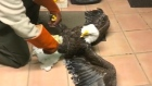Free(zing) as a bird: rescuers defrost frozen bald eagle