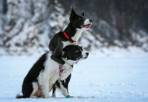 PAW IN PAW: Two female Border collies, Geneva and Belka, react during a training on the frozen Yenisei River outside Krasnoyarsk, Russia on February 17th. Photograph: Ilya Naymushin/Reuters