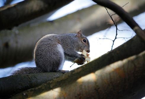 A squirrel snacks on an apple core at the National Botanic Gardens in Glasnevin, Dublin. Photograph: Nick Bradshaw/The Irish Times