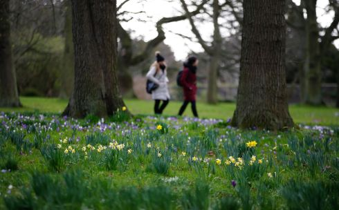Spring crocuses and daffodils in bloom at the National Botanic Gardens in Glasnevin, Dublin.  Photograph: Nick Bradshaw/The Irish Times