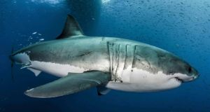 A great white shark. Photograph: Byron Dilkes/Danah Divers/PA Wire
