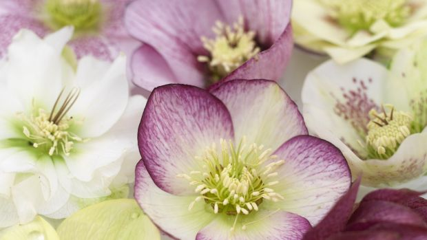 Few early spring-flowering plants can rival Lenten hellebores (Helleborus x hybridus) for their delicate beauty and rich variety of colours.