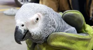 The African Grey parrot found on Dublin airport's runway on Sunday Photograph: Dublin Airport/Twitter