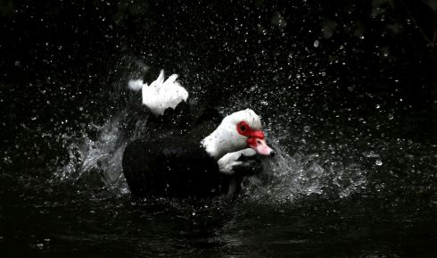 WATER AND A DUCK'S BACK: A Muscovy duck in the Phoenix Park in Dublin. Photograph: Laura Hutton/The Irish Times