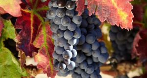 "Tempranillo means ""little early one"" as it ripens earlier than garnacha."