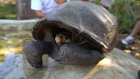 Tortoise thought extinct for 100 years discovered in Galápagos
