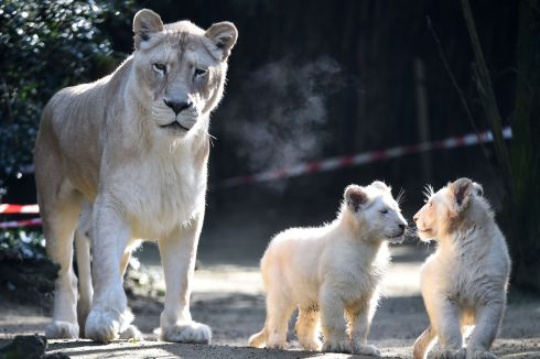Nikita, a 12-year-old Lion next to her two white lion cubs, four-months old, at the zoo in La Fleche, northwestern France. Photograph: Jean-Francois Monier/AFP/Getty Images