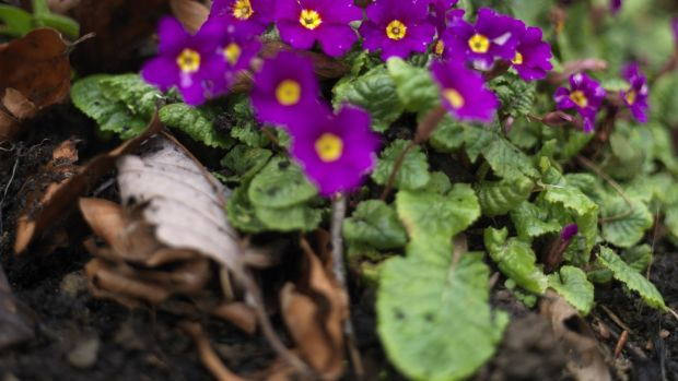 Are primroses the perfect spring flower? They love the damp and.