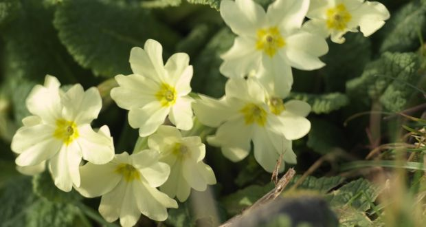 Are Primroses The Perfect Spring Flower They Love The Damp And Are