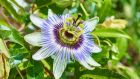 'The passion flowers that looked so alien and beautiful; a rumour of a far-off place creeping up a trellis in Limerick' Photograph: istock